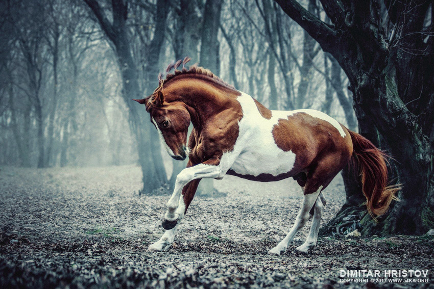 Paint horse in the frozen forest photography top rated featured equine photography animals  Photo