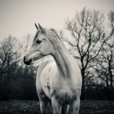 Calm white horse on the forest background
