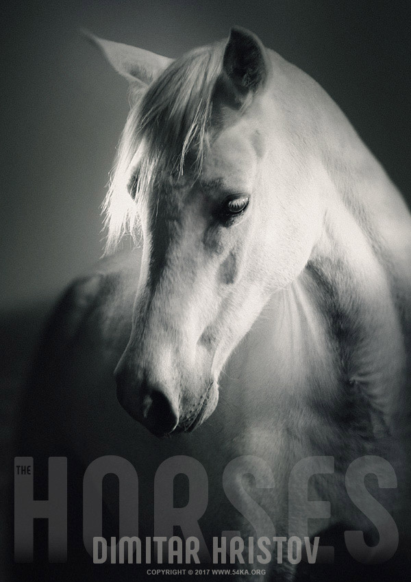 White Horse Head   Strobist Portrait photography featured equine photography black and white animals  Photo