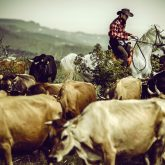Cowboy on cattle round