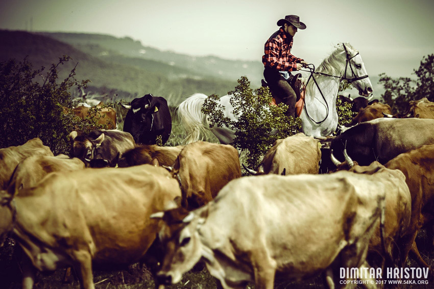 Cowboy on cattle round photography featured equine photography animals  Photo