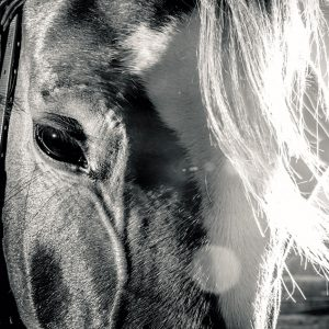Horse face in black and white