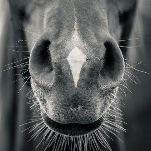 Horse head closeup – Black and White