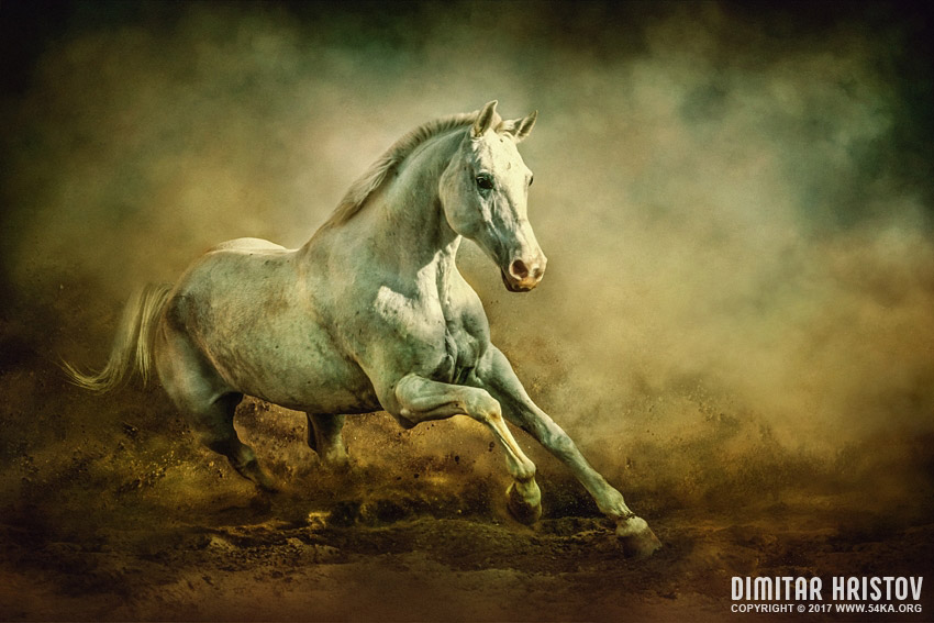White Arabian Stallion Running In Dust photography photomanipulation top rated featured equine photography animals  Photo