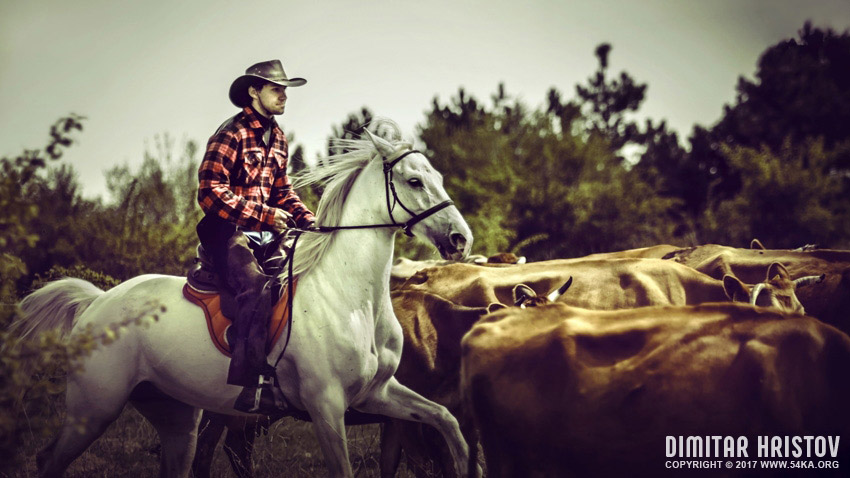 Wild West Cowboy     Cattle Drive     Equestrian photography by Dimitar Hristov  54ka  photo blog