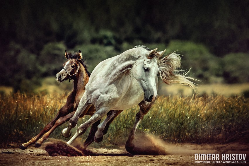 White horse and foal   Running wild photography top rated featured equine photography animals  Photo