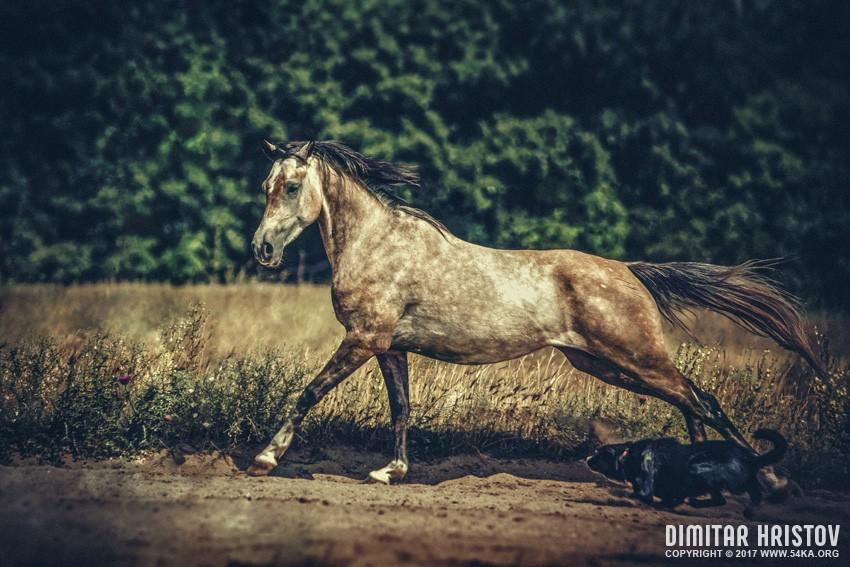 Dog and arabian horse running daily dose  Photo