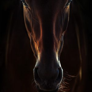 Portrait Of A Brown Horse Close Up