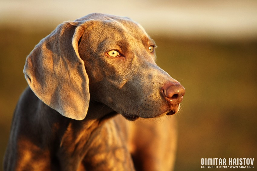 Weimaraner photography animals  Photo