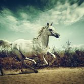 White Andalusian horse runs gallop in summer time
