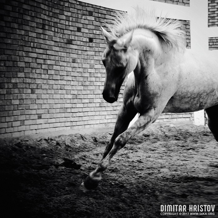 White Horse Galloping   Black And White Photography photography featured equine photography black and white animals  Photo