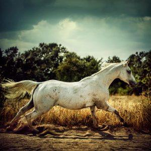 White horse runs gallop