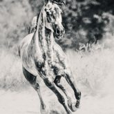 Arabian horse running on sunny meadow