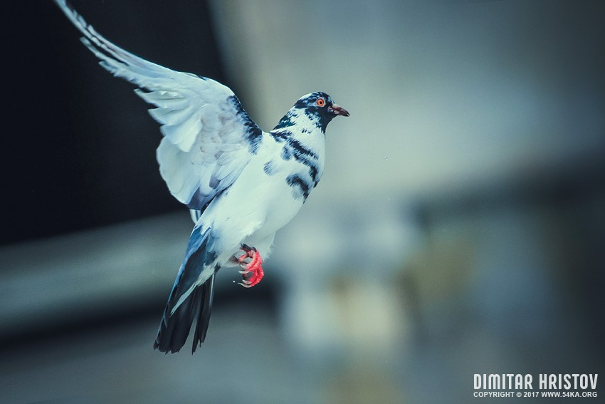 Flying pigeon photography other animals  Photo