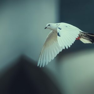 White dove fly with the wind