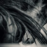 Arab horse portrait – Black and White