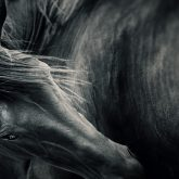 Black horse portrait – Black and white