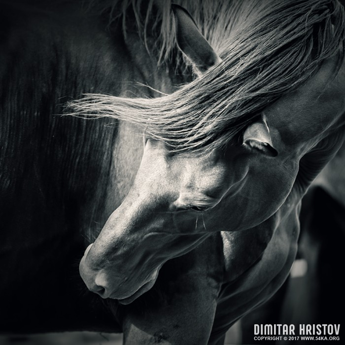 Horse   Black and White Portrait photography featured equine photography animals  Photo