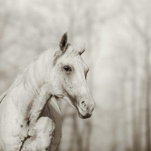 Lone white wild horse II