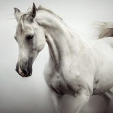 Beautiful White Horse on The White Background