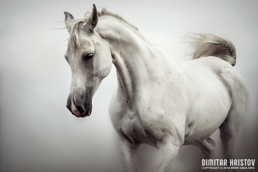 Beautiful White Horse on The White Background photography photomanipulation top rated featured equine photography animals  Photo