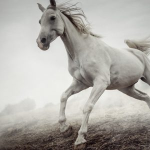 Beautiful White Horse Running in Mist