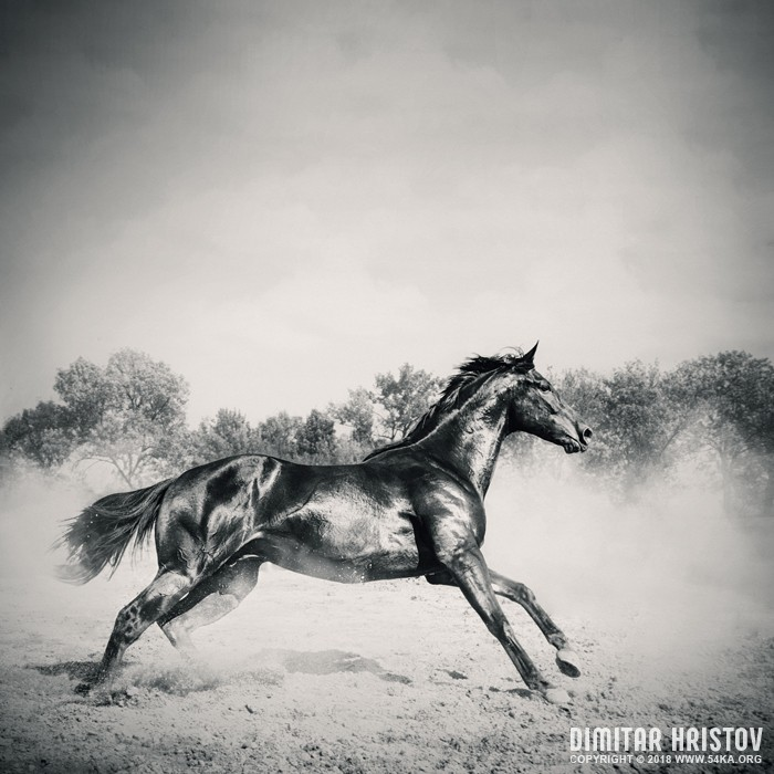 Black stallion horse photography equine photography black and white animals  Photo