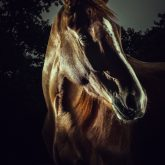 Horse Portrait – Equestrian Beauty