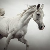 White Horse on The White Background – Equestrian Beauty
