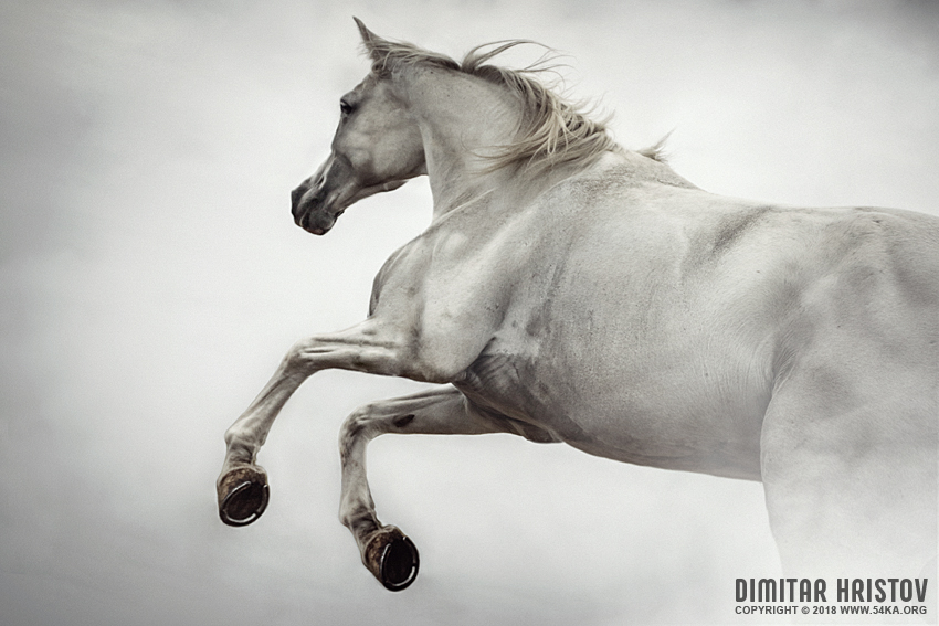White Horse Rearing Up photography featured equine photography animals  Photo