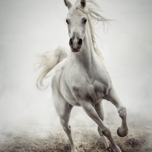 White Horse Running in Winter Mist