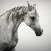 White Horse Winter Mist Portrait