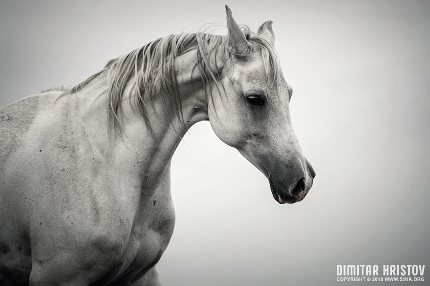 White Horse Winter Mist Portrait photography featured equine photography black and white animals  Photo