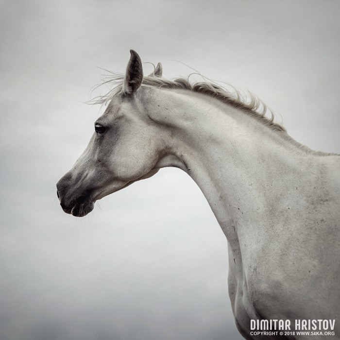 Arabian Horse Portrait photography featured equine photography animals  Photo