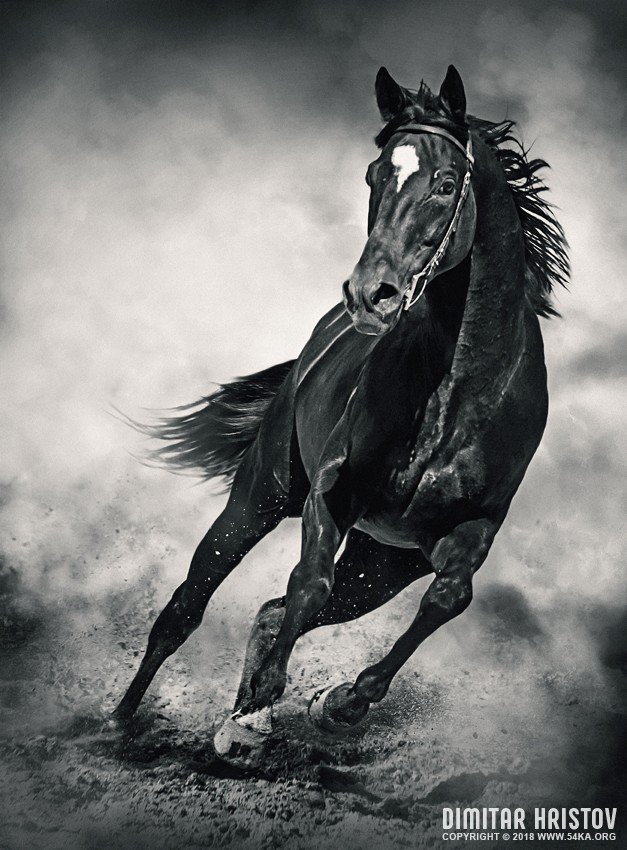 Black Horse – Running Wild   Black and White photography featured equine photography black and white animals  Photo