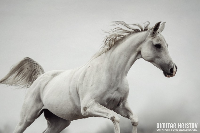 Galloping White Horse photography top rated featured equine photography animals  Photo