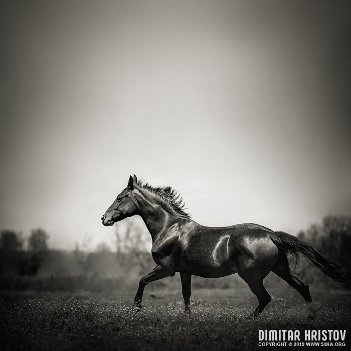 Arab racer horse runs on summer meadow photography featured equine photography black and white animals  Photo