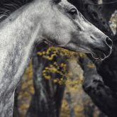 Arabian horse close-up portrait autumn in the forest