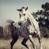 Beautiful arabian horse run gallop in meadow