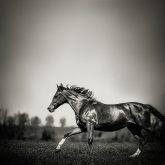 Black horse run in the morning field