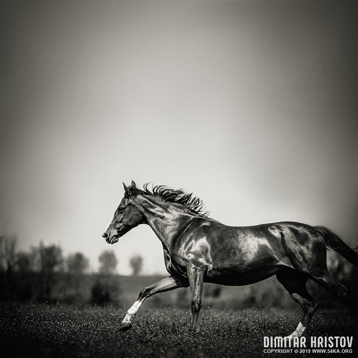 Black horse run in the morning field photography featured equine photography black and white animals  Photo