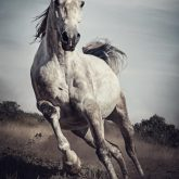 Majestic photo of strong arabian white horse