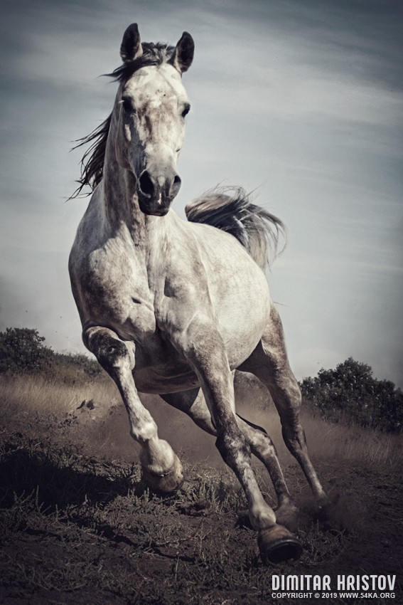 Majestic photo of strong arabian white horse photography featured extreme equine photography animals  Photo