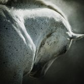 Portrait of white arabian horse head on dark background