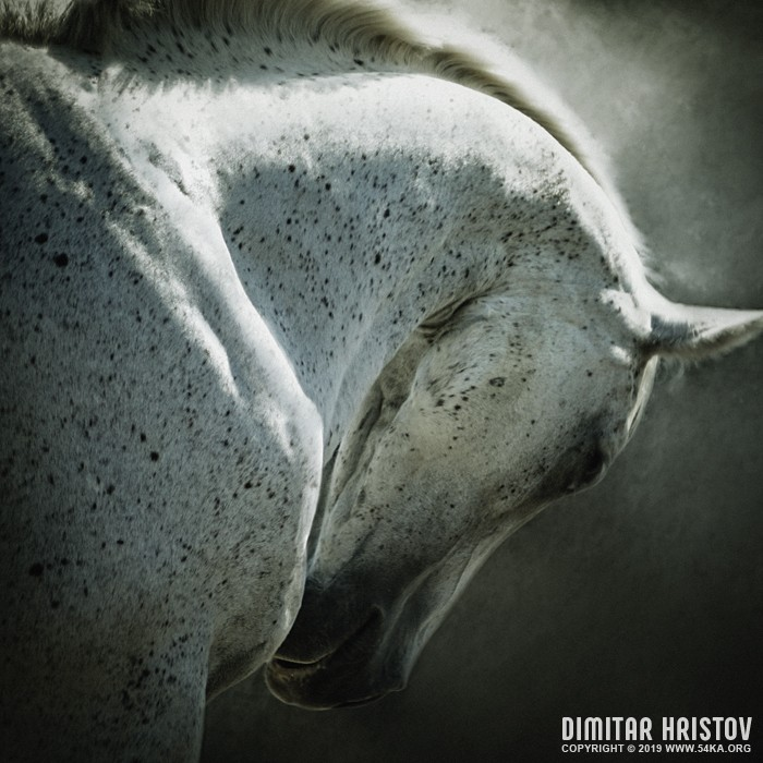 Portrait of white arabian horse head on dark background photography photomanipulation featured equine photography animals  Photo
