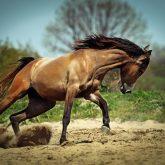 Stallion run gallop in spring meadow