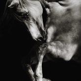 White horse jumping on dark background