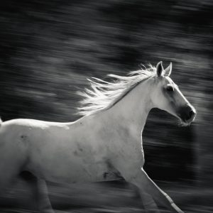Arabian horse free run on the forest