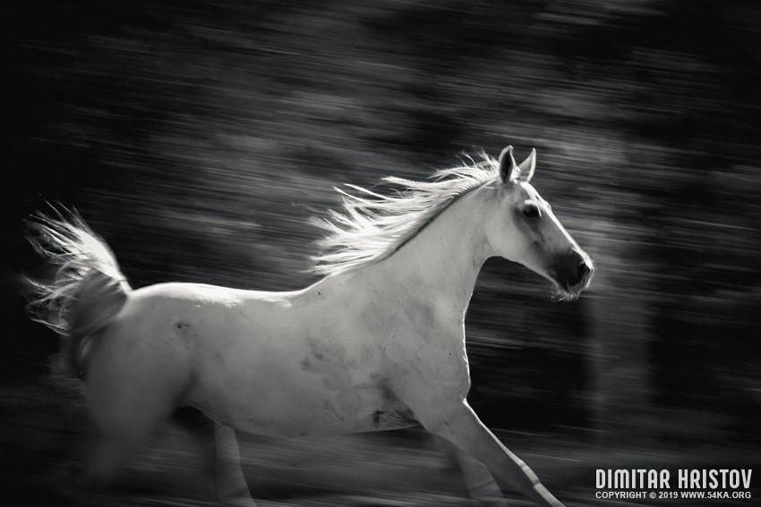 Arabian horse free run on the forest photography equine photography black and white animals  Photo