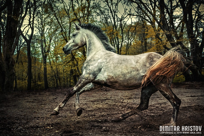 Arabian stallion portrait in forest in sunlight photography featured equine photography animals  Photo